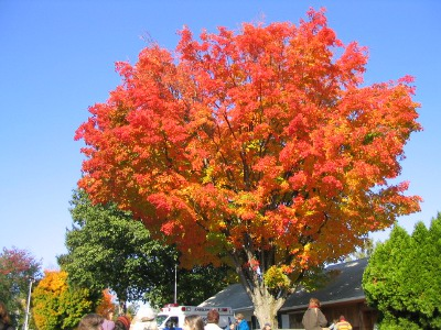 Tree at Duchess county fairgrounds that is a beautiful shade of red-orange